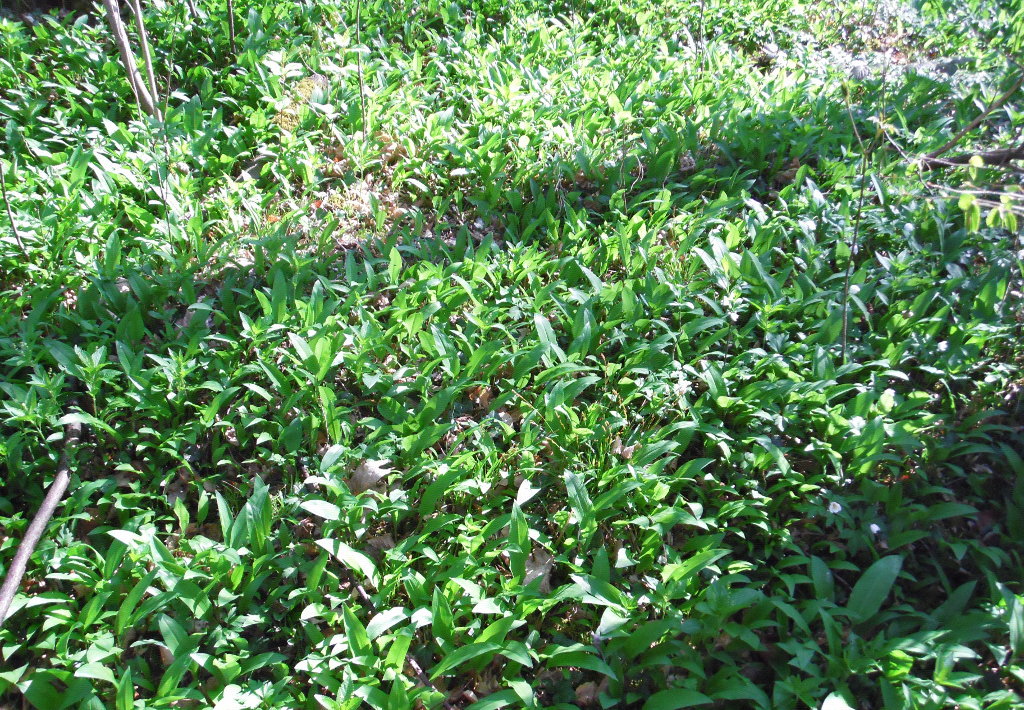 Bärlauch auf Waldboden